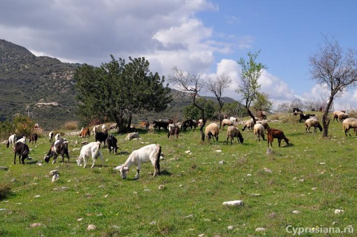 Козы и овцы Кипра