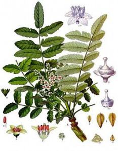 Ладанное дерево