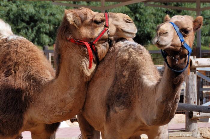 Верблюды в парке