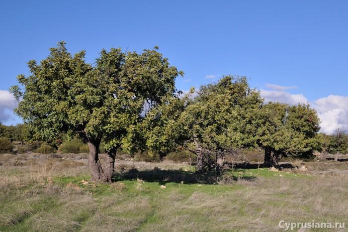 Рожковое дерево