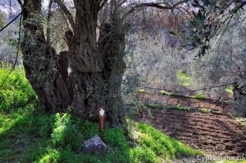 На пути к оливе