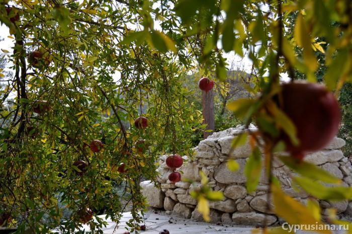 Гранатовое дерево в Скули