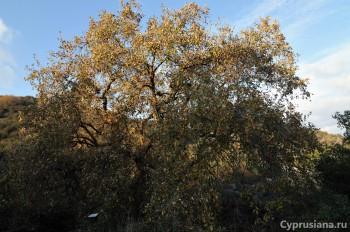 Кипрский дуб