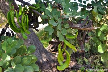 Рожки рожкового дерева