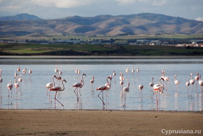 Фламинго у солёного озера в Ларнаке