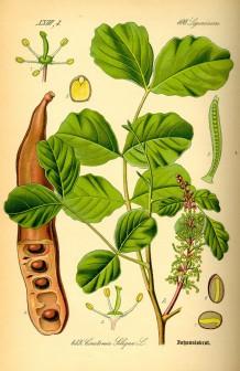 Ceratōnia silīqua