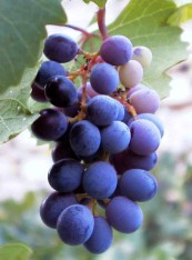 Виноград Мавро