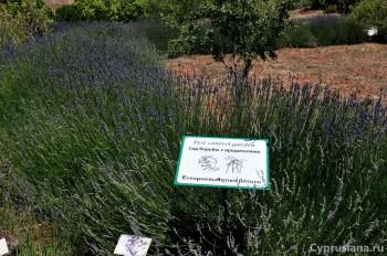 Сады с лавандой